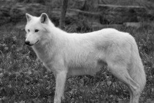 loup-arctique-10